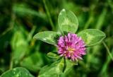 Klee, Trifolium, Wiesenblume
