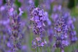 Lavendel, Blau, Sommer