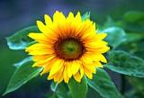 Sonnenblume, Garten, Feld, Gelb, Blüte