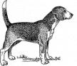Glücklich, Hund, Beagle, Haustier