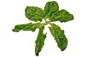 Spinat, Blattspinat, Salat, Blätter