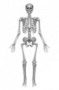 Das Menschliche Skelett, Knochen
